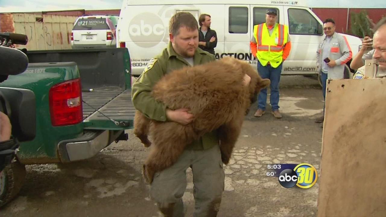 Bear on the loose in Fresno neighborhood