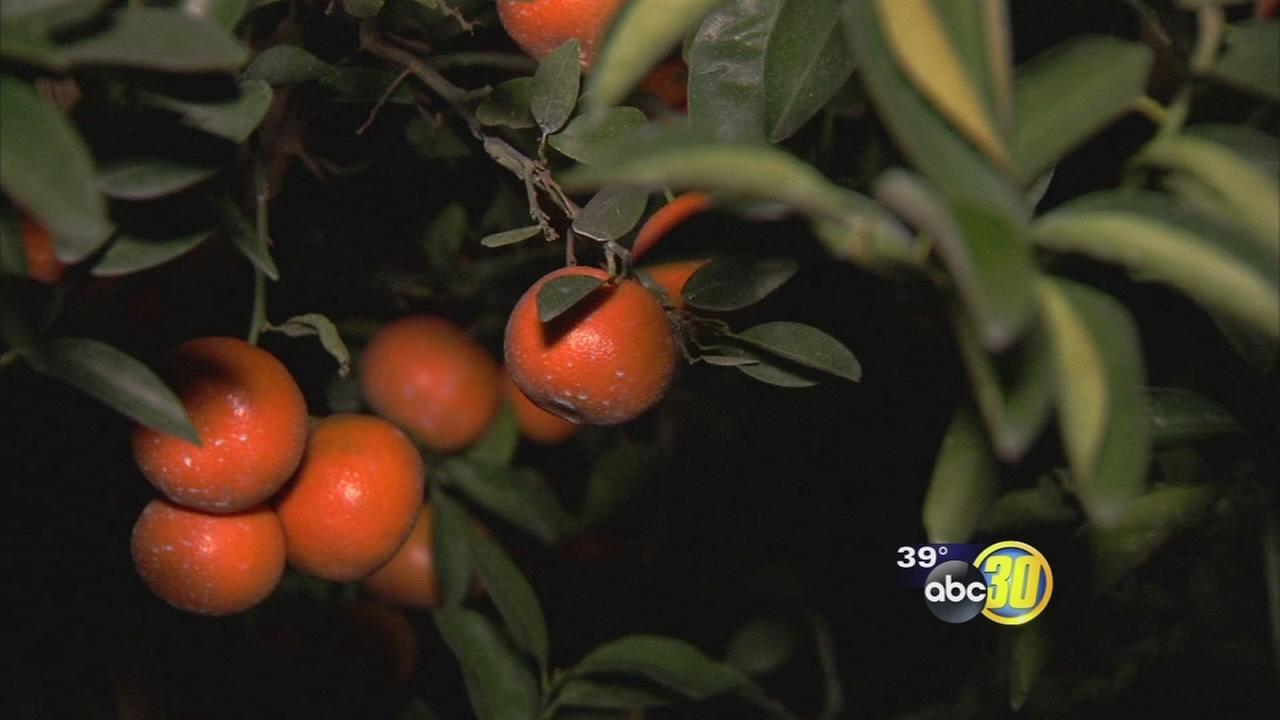 Valley citrus growers trying to protect their crops from freezing temperatures