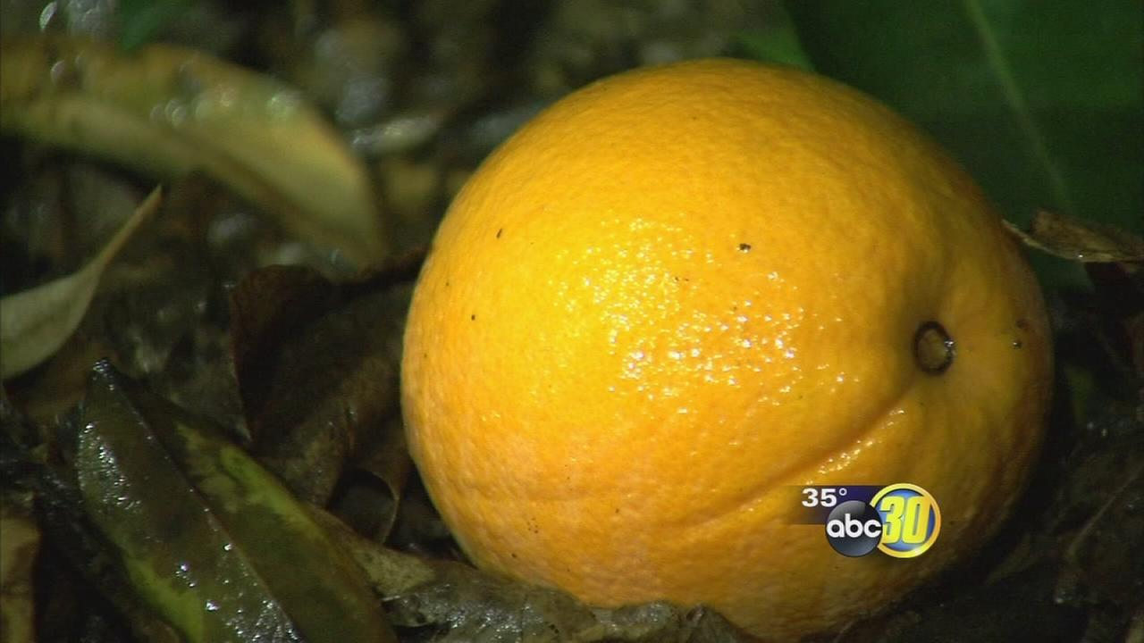Freezing temperatures have citrus farmers taking steps to protect their crops