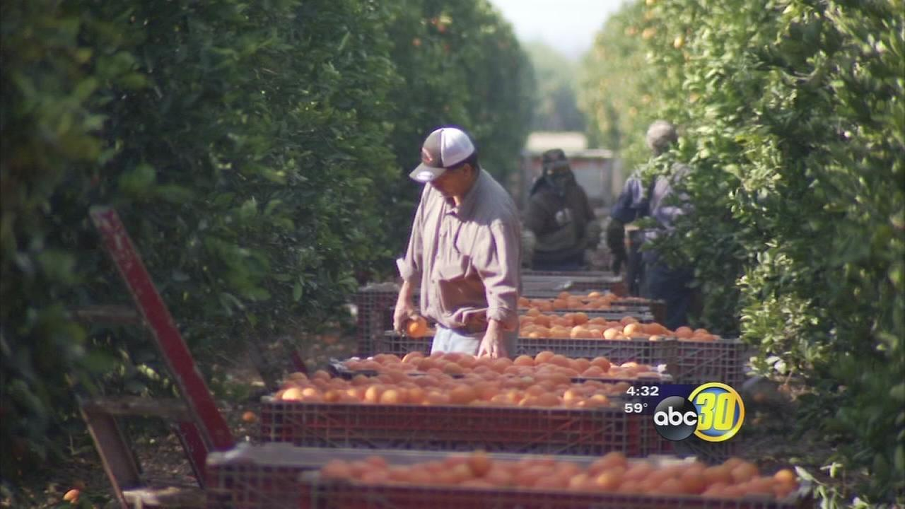 Storm watch speeds up citrus harvest