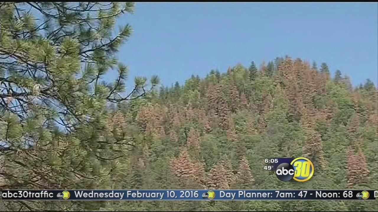Dead trees from bark beetle cause fire hazard in Sierras