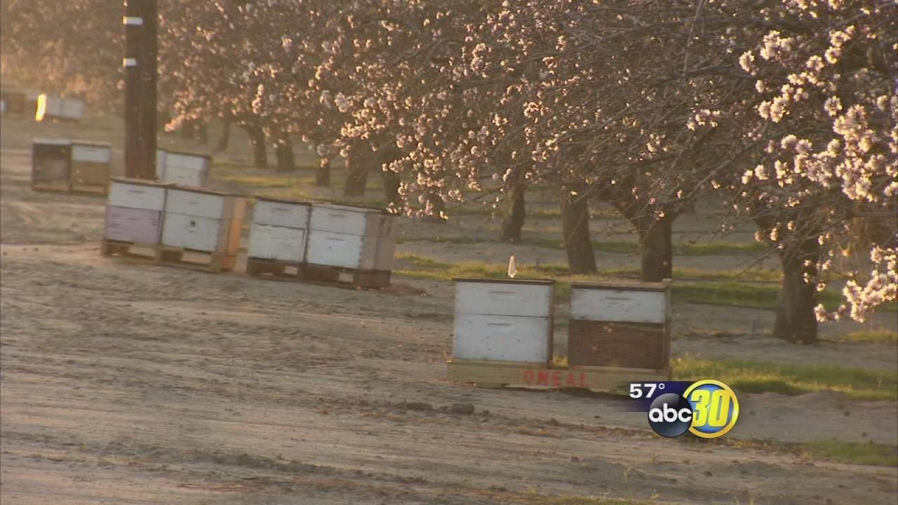 Almond blooms attracting a swarm of bee bandits