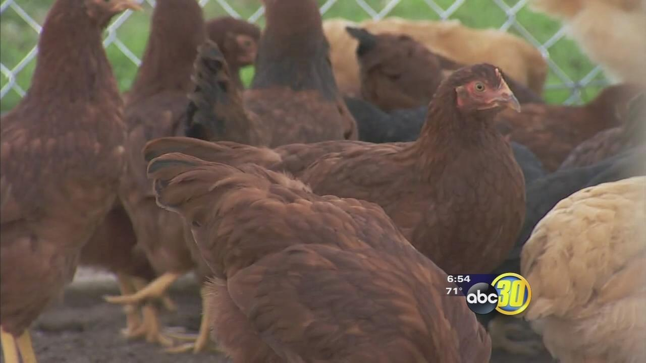Chickens roaming North Valley school are helping students learn all about Ag business