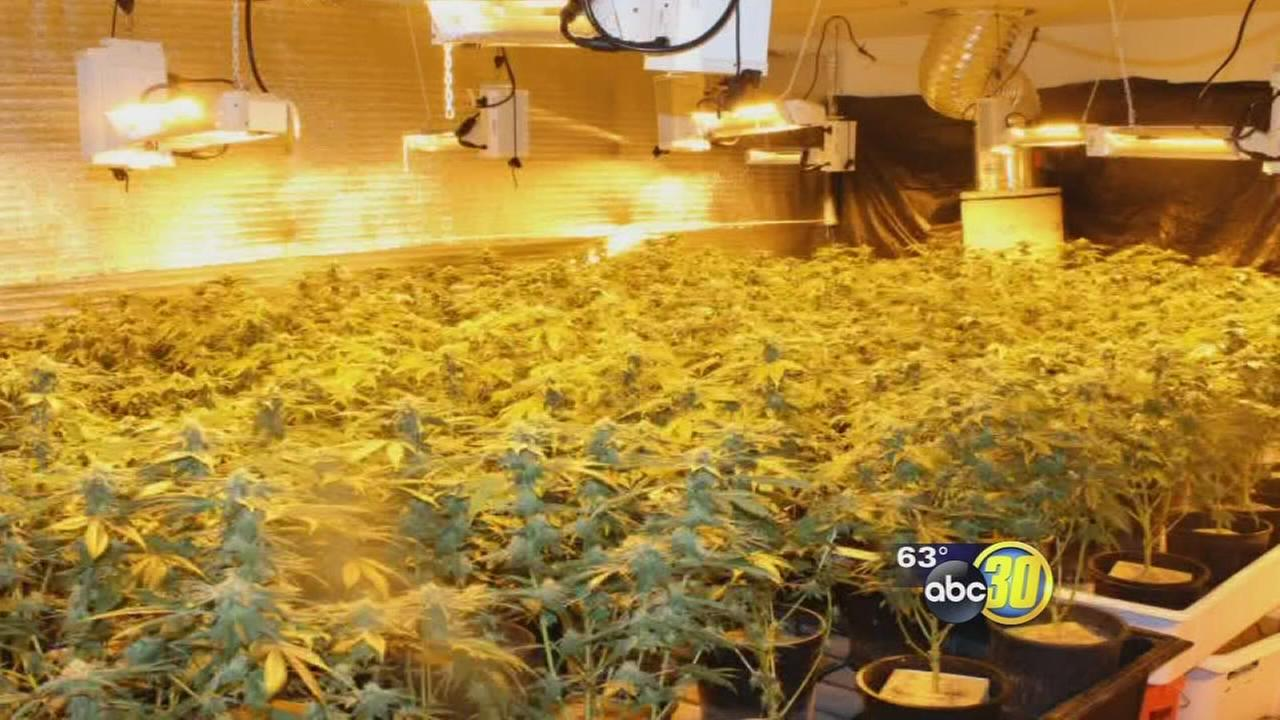 Nearly 2,400 marijuana plants found during pot bust in Oakhurst