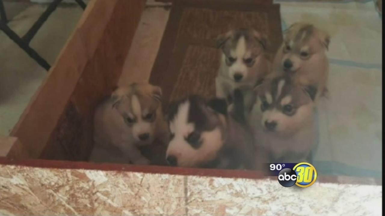 062816-kfsn-11pm-stolen-puppies-vid