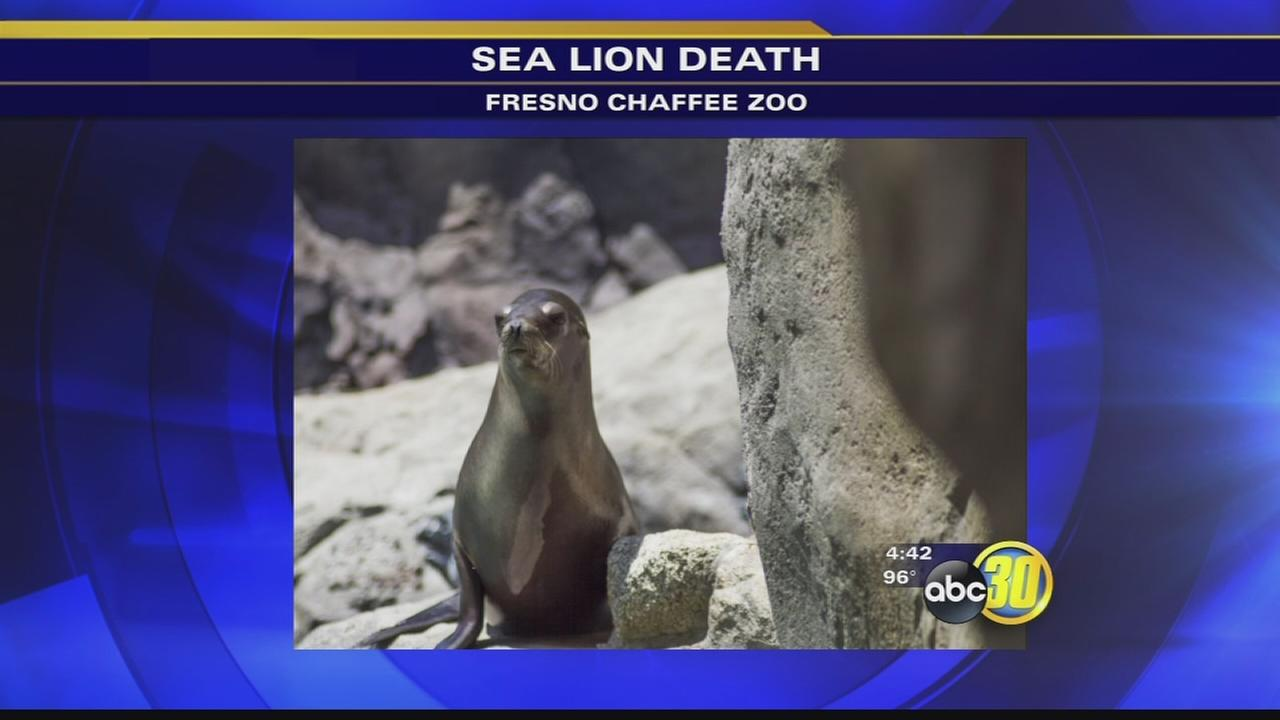 Chaffee Zoo loses member of sea lion family to Valley Fever