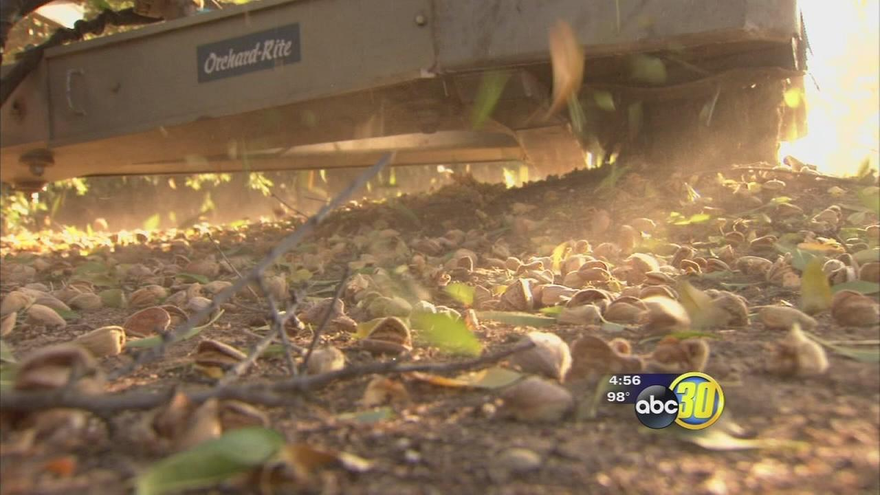 Things are shaking up at the Fresno State Farm this almond harvest