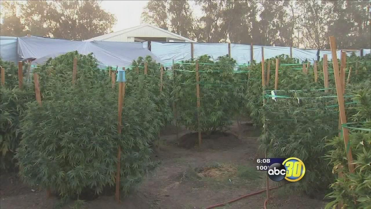 Merced County Sheriffs Department says marijuana grows becoming huge problem