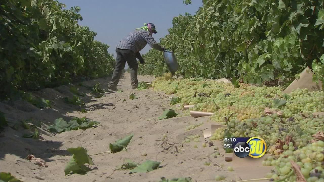 Smaller raisin crop expected this season in the Valley