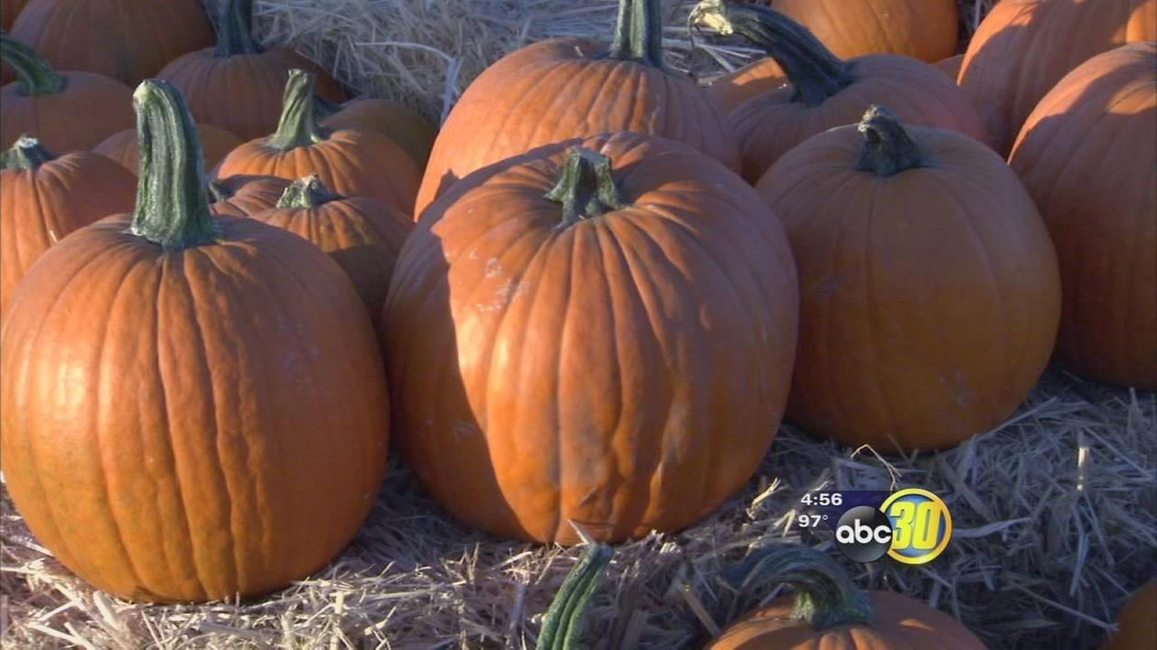Valley farmers enjoy better pumpkin harvest in time for fall