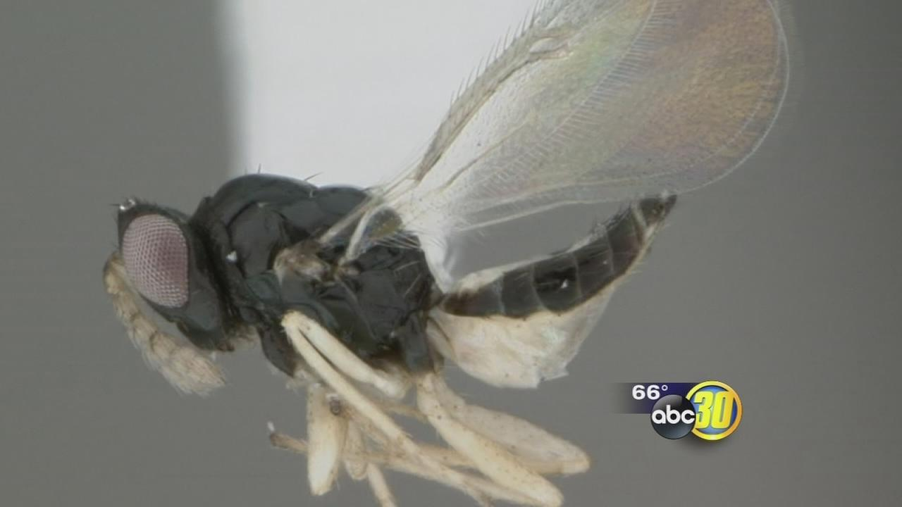 Fresno County under citrus quarantine to keep pest threat contained