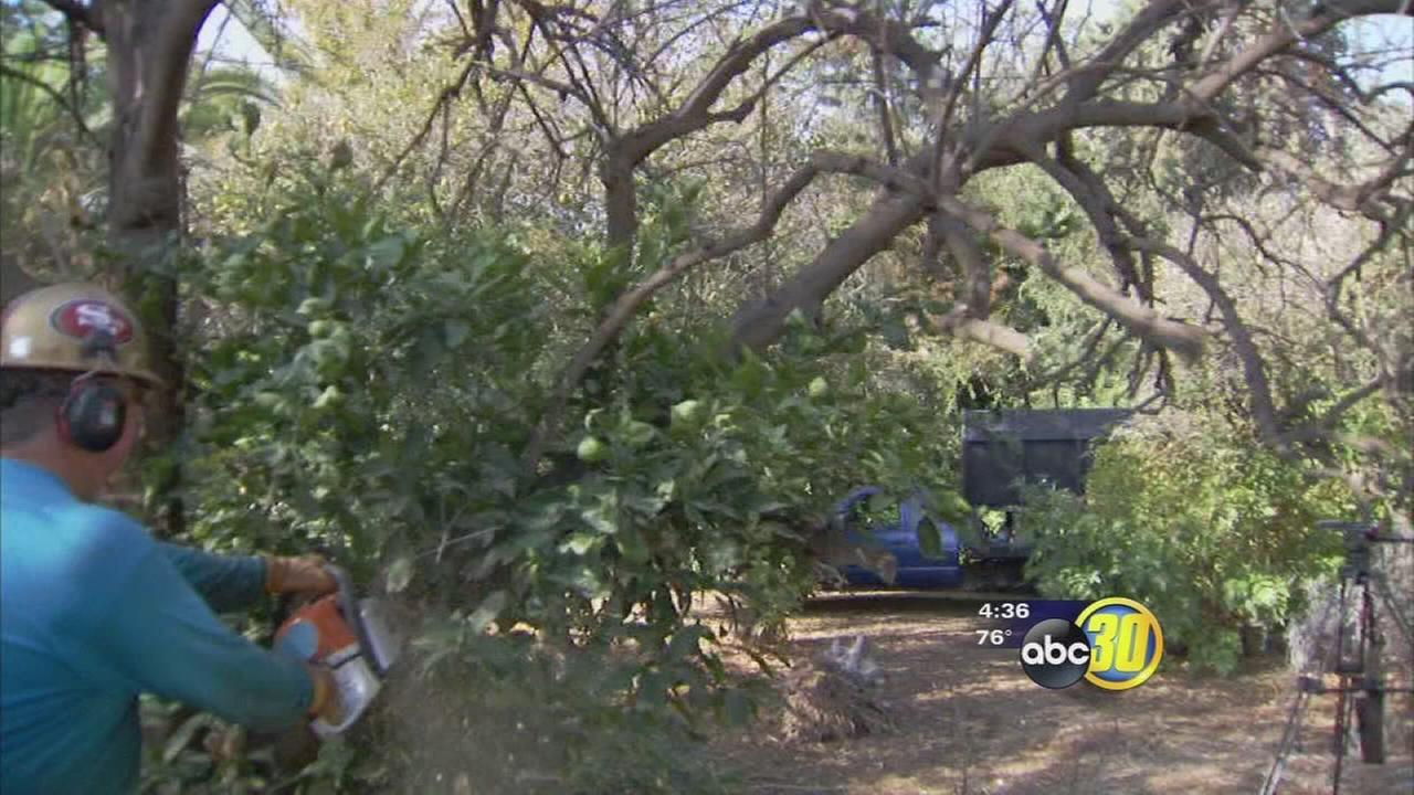Free citrus tree removal program helps protect against pests
