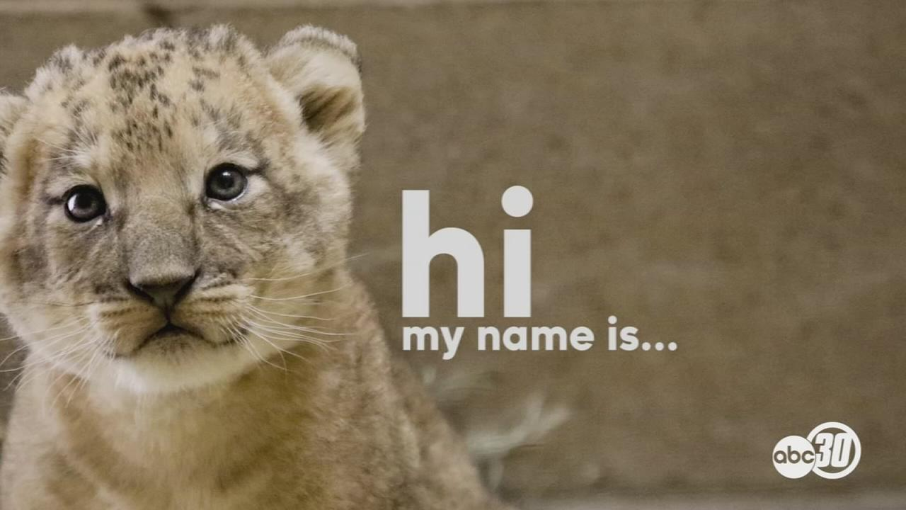 Fresno Chaffee Zoo announces lion cub and naming contest