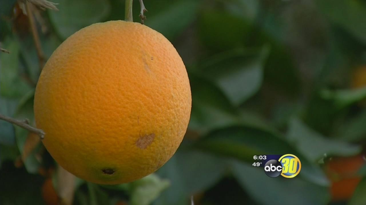 Small-time Valley citrus growers utilize water, watch weather during cold snap