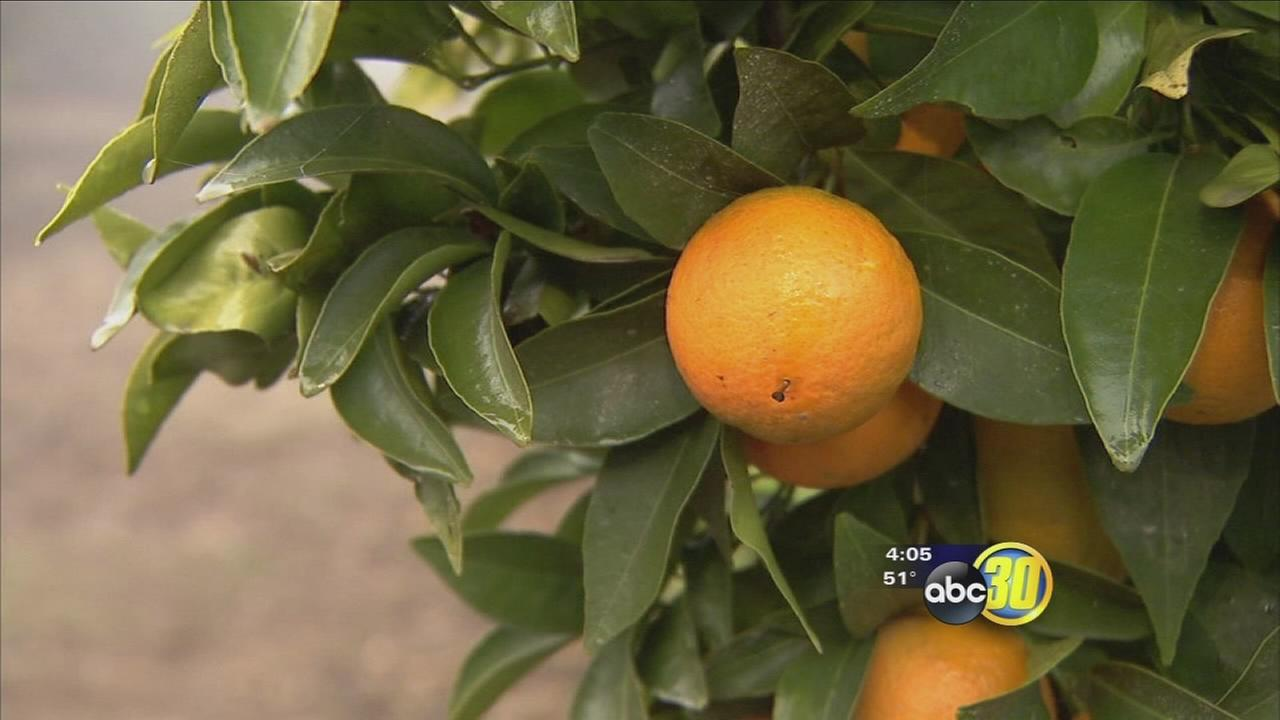 Citrus harvest underway in Fresno County