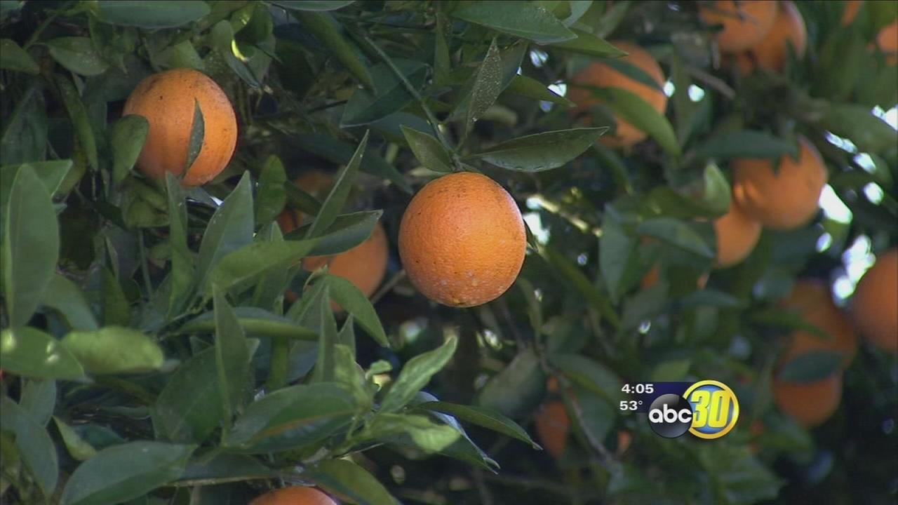 Fresno County citrus farmers scramble to protect harvest from freezing temperatures