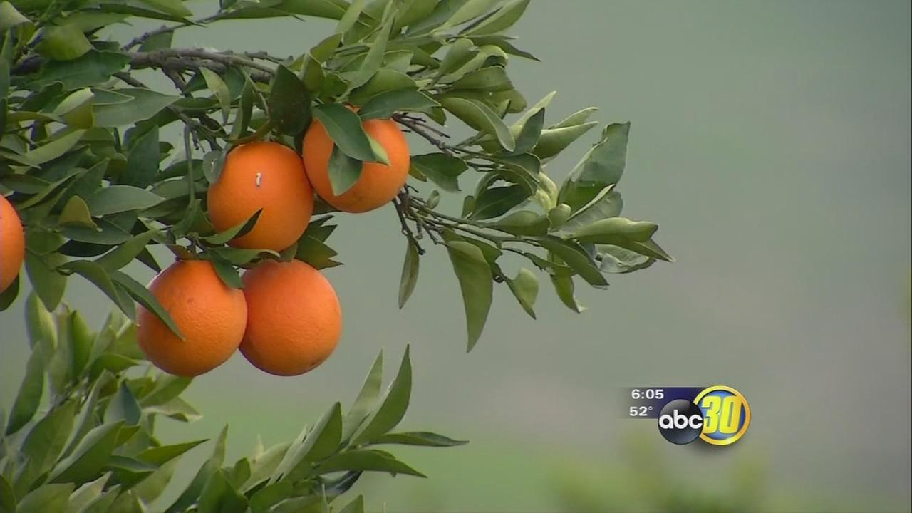 Rain causing sloppy conditions and harvesting delays for Valley citrus growers