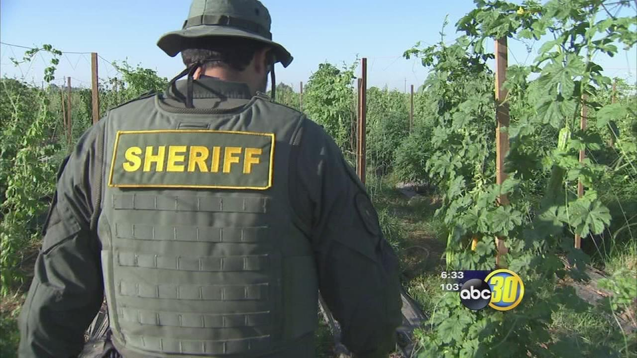 Millions in fines possible at raided Fresno County pot grows