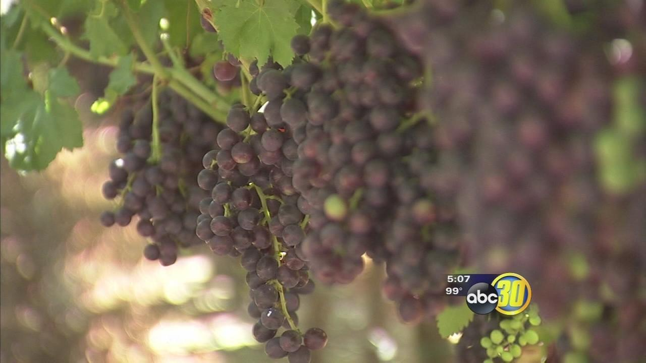 Drought cutting into wine grape production