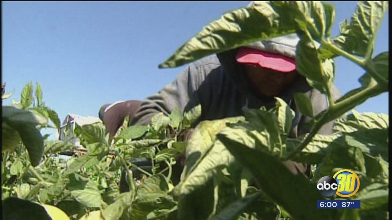 Renewed effort underway to allow undocumented farm workers to stay in the US