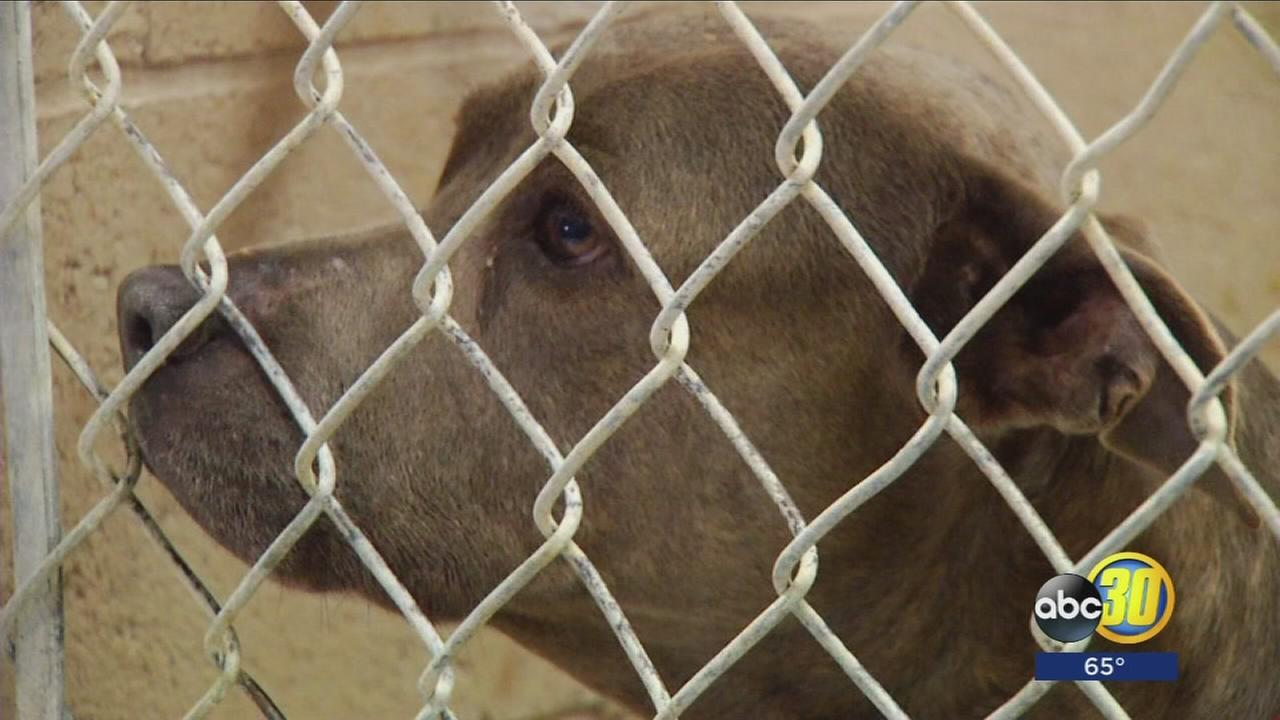 Pit Bull involved in mauling to be returned to owner