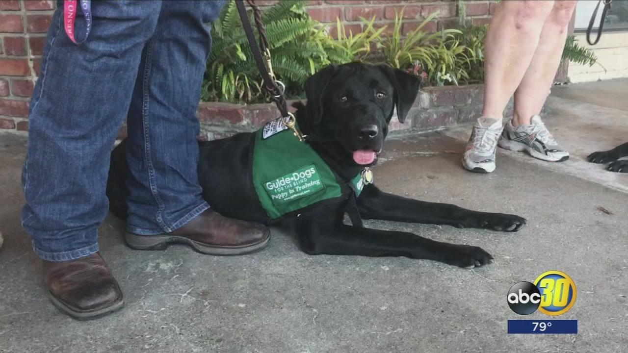 Guide dog training takes over Fig Garden in Northwest Fresno