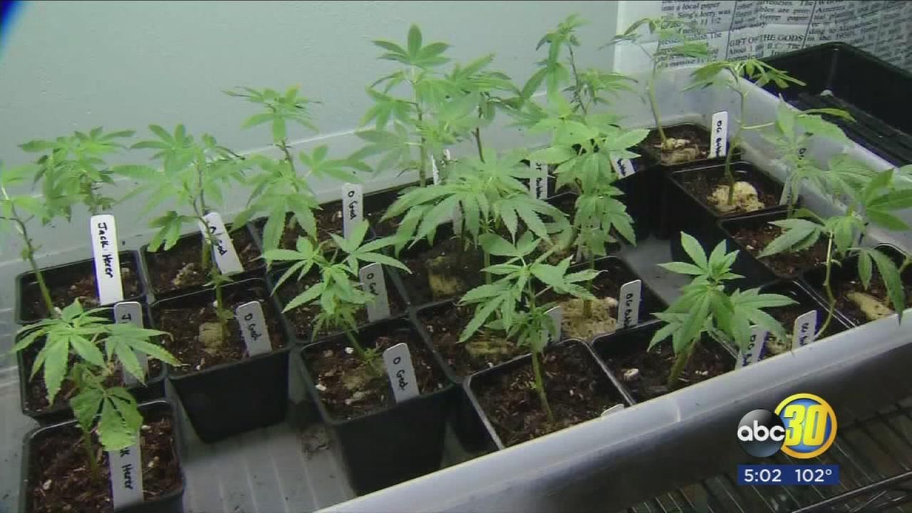 City leaders in Mendota considering opening the door to commercial pot production
