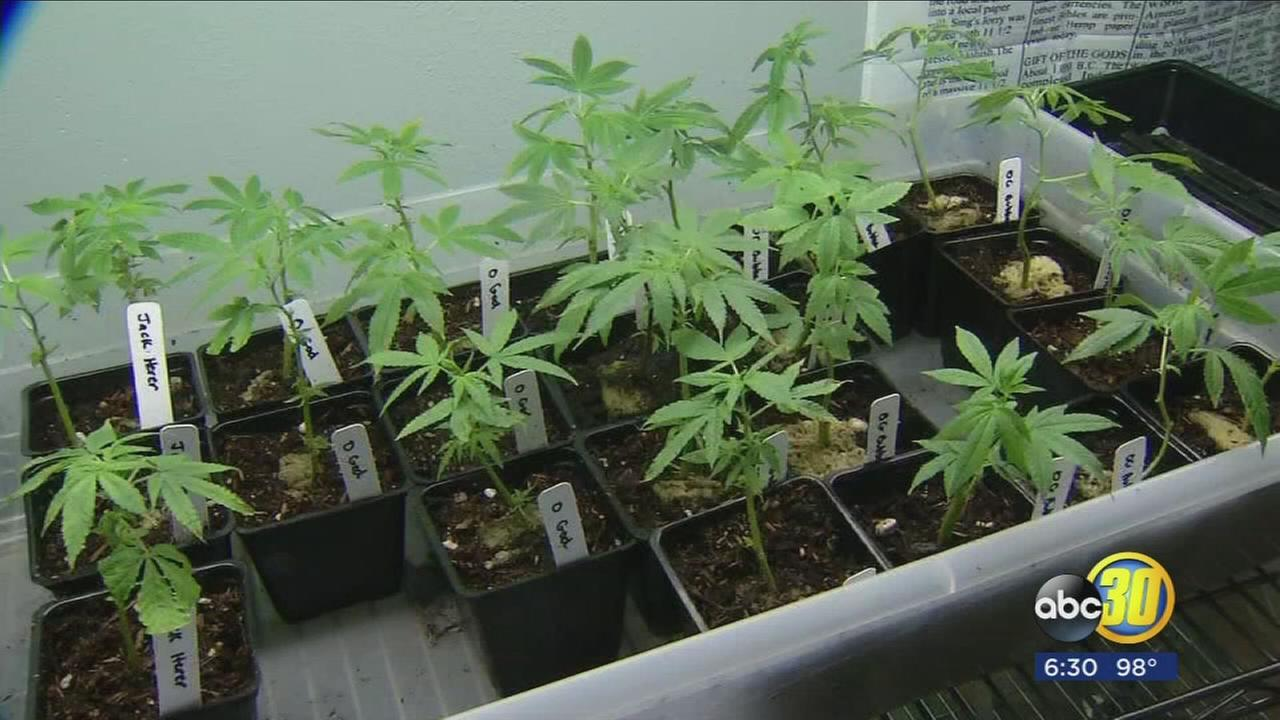 Farmersville and Woodlake eye marijuana business, while Visalia says no