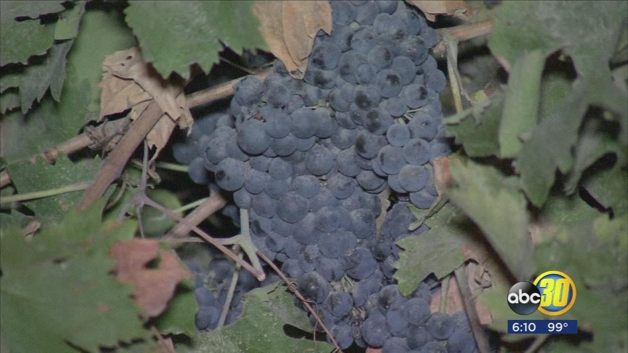 Valley wineries celebrating beginning of grape harvest