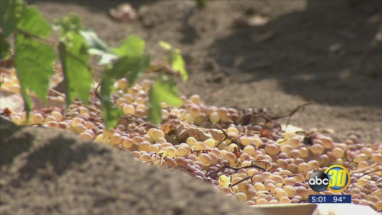 Farmers expect partial loss to raisin crop after summer storm sweeps across Valley