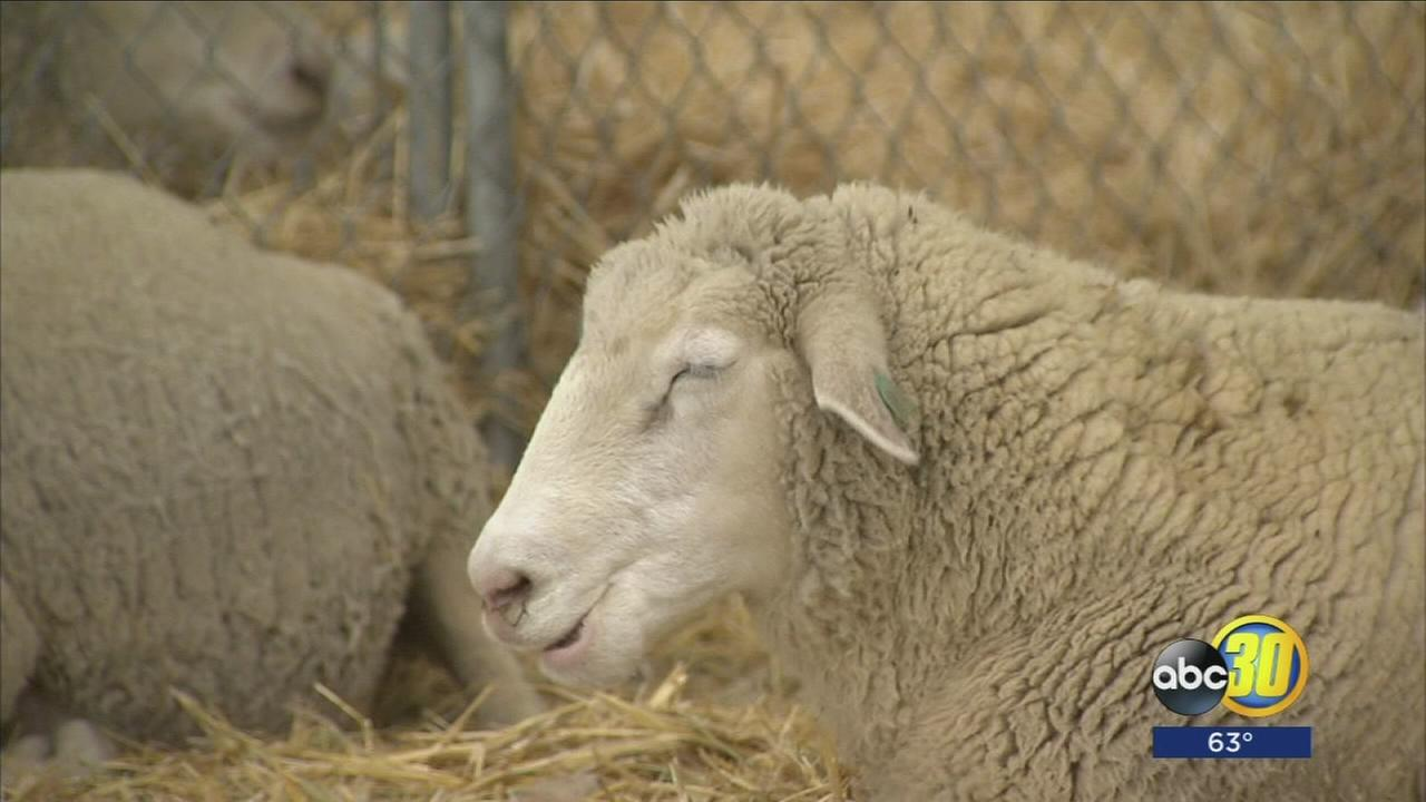 livestock bff