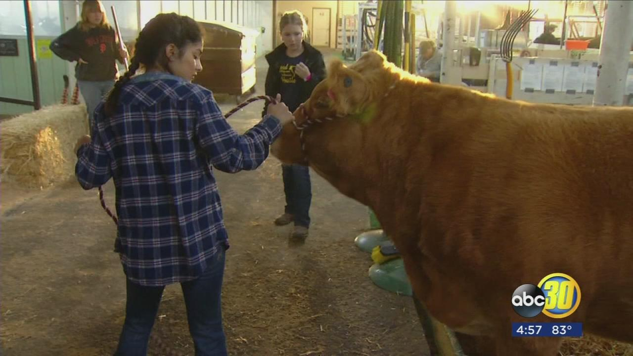 Livestock big tradition at Big Fresno Fair