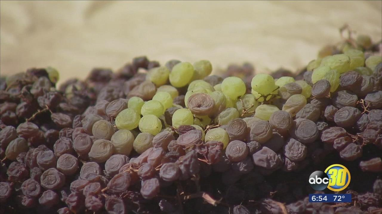 Weather damage this season resulted in raisin growers seeing their lightest crop since 1982