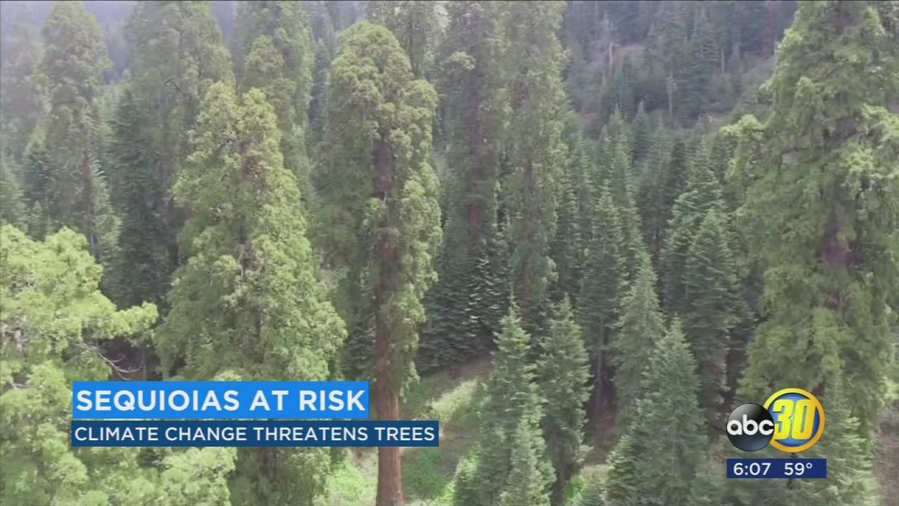 Climate change threatens giant sequoias