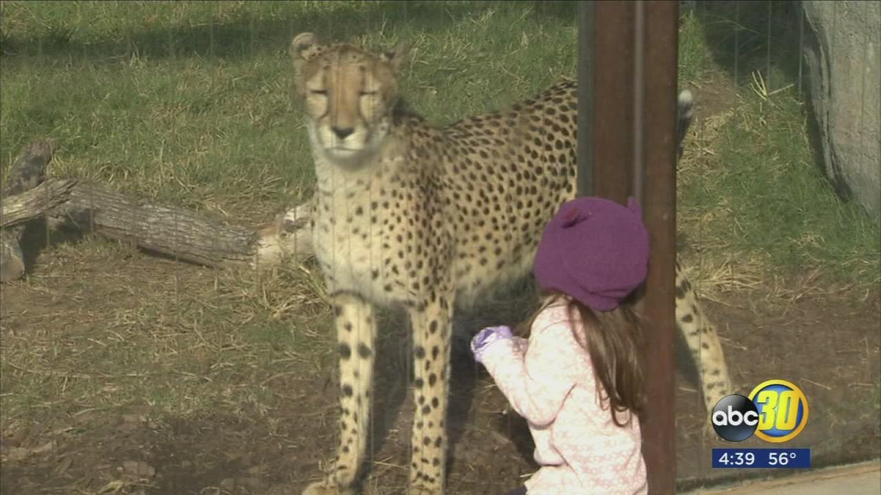 Fresno Chafee Zoo is celebrating International Cheetah Day