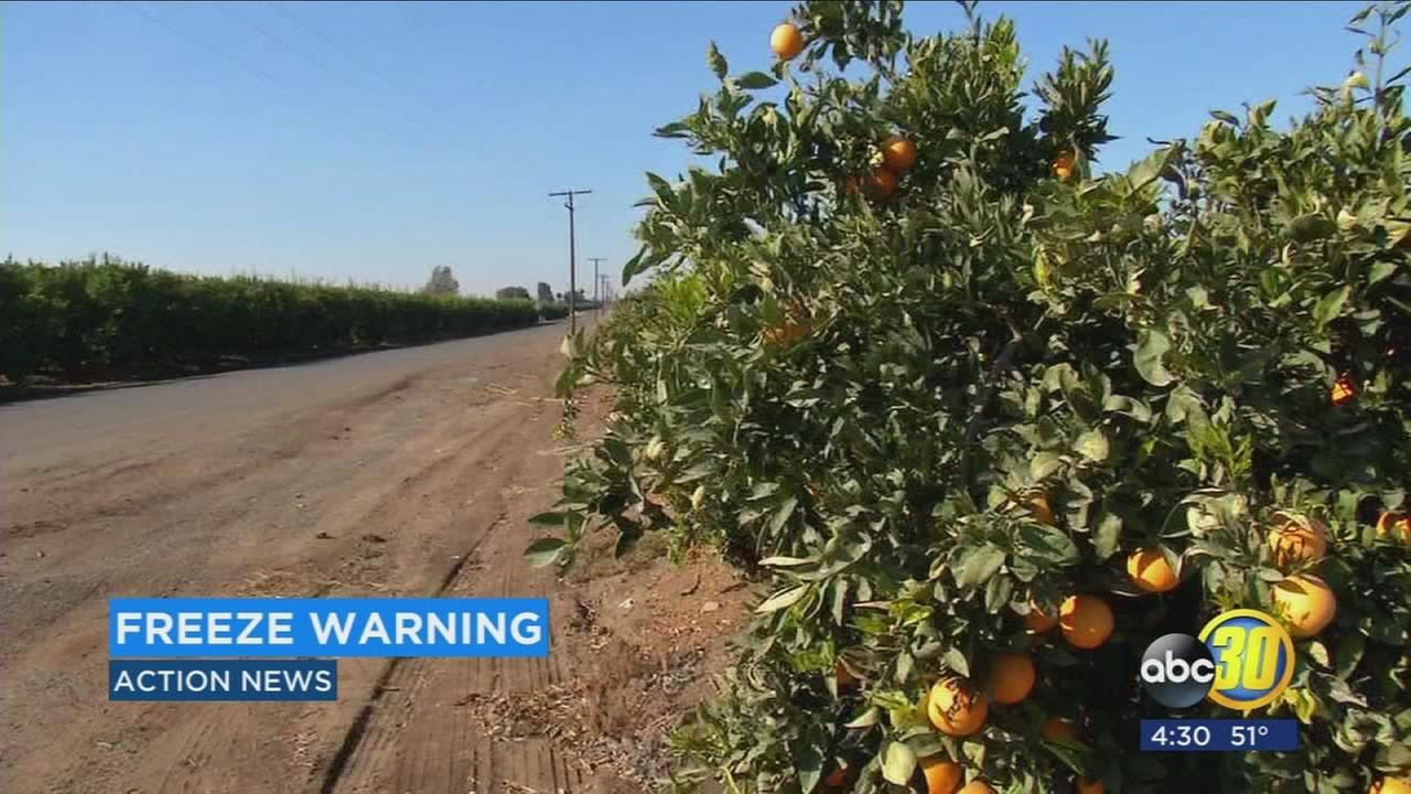 Citrus growers endure cold temps that threaten crops