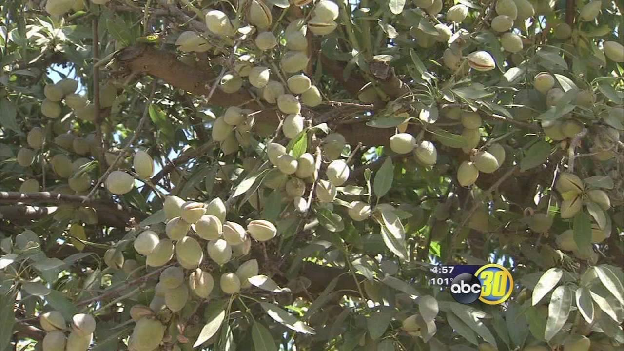 Valley almonds ready for harvest