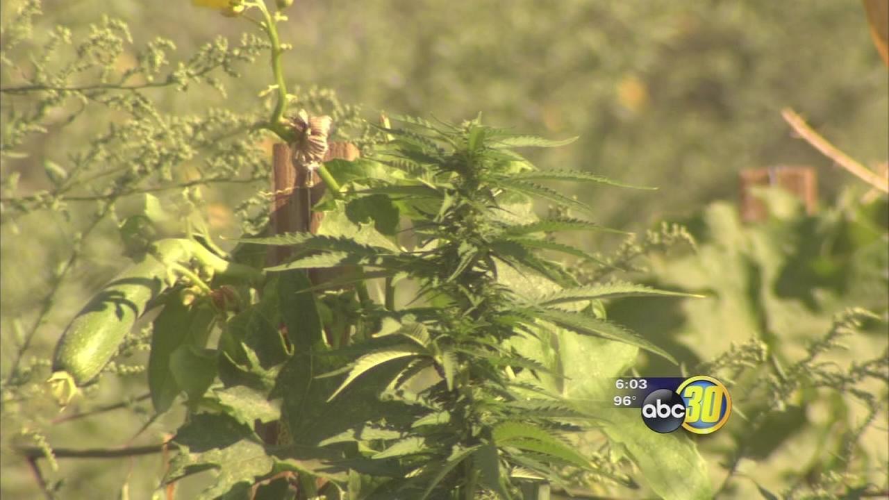 2000 marijuana plants found near Steinbeck Elementary School