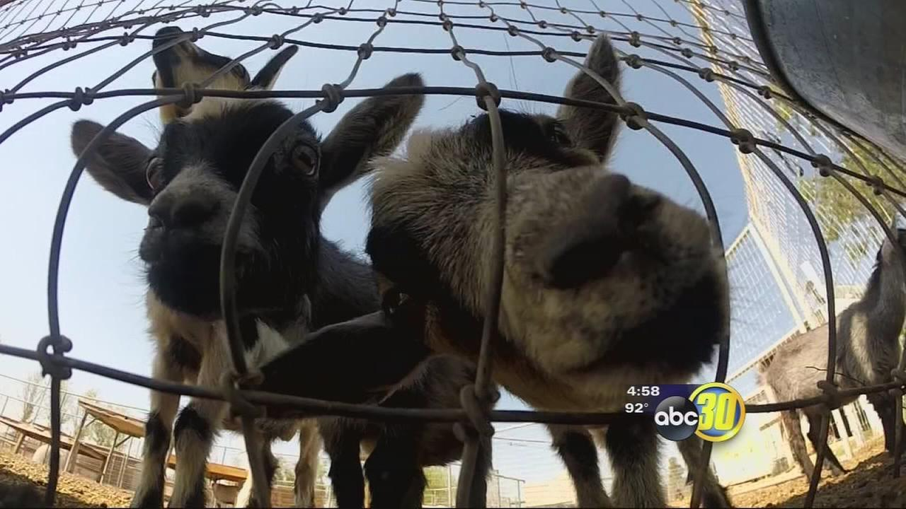 Sanger ranch raises fainting goats