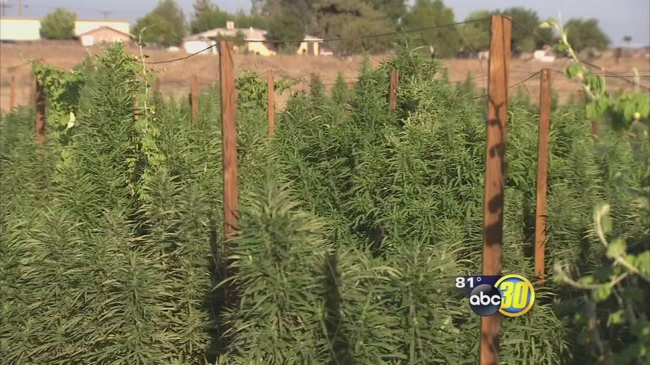 Thieves targeting pesticides to resell to marijuana growers