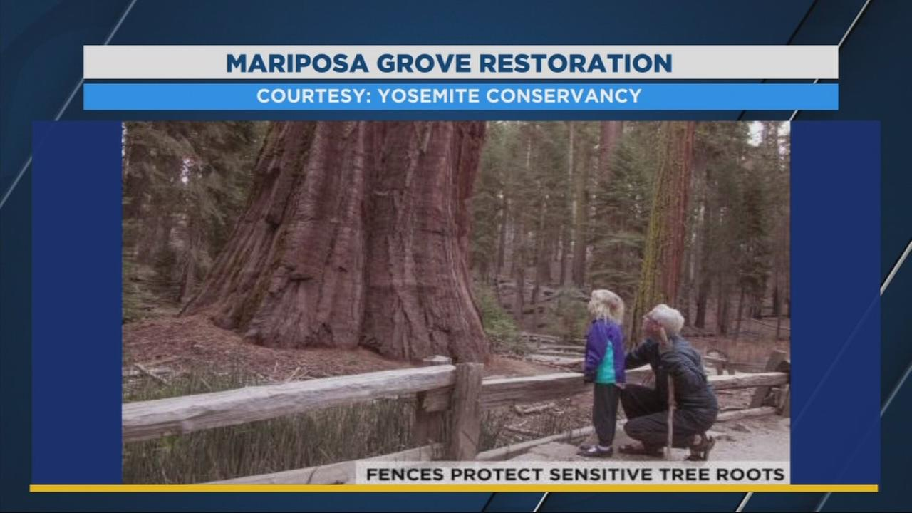 Mariposa Grove in Yosemite National Park set to re-open in June