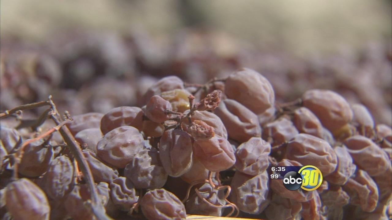 Raisin growers welcome cooldown