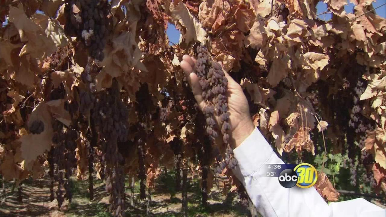 Unique look at raisins dried on the vine