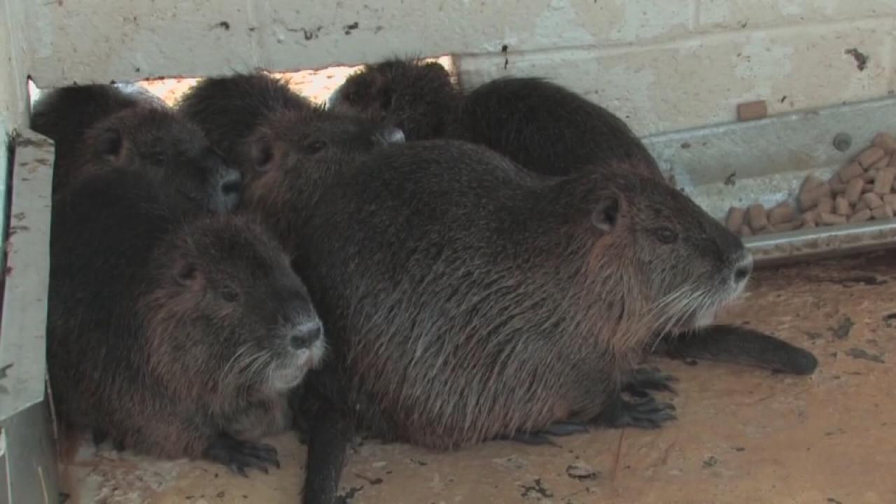 Nutria eradication begins in Merced County