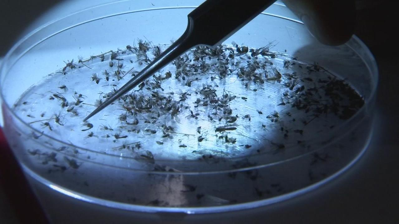 Fresno County releasing mosquitoes to stop spread of mosquitoes
