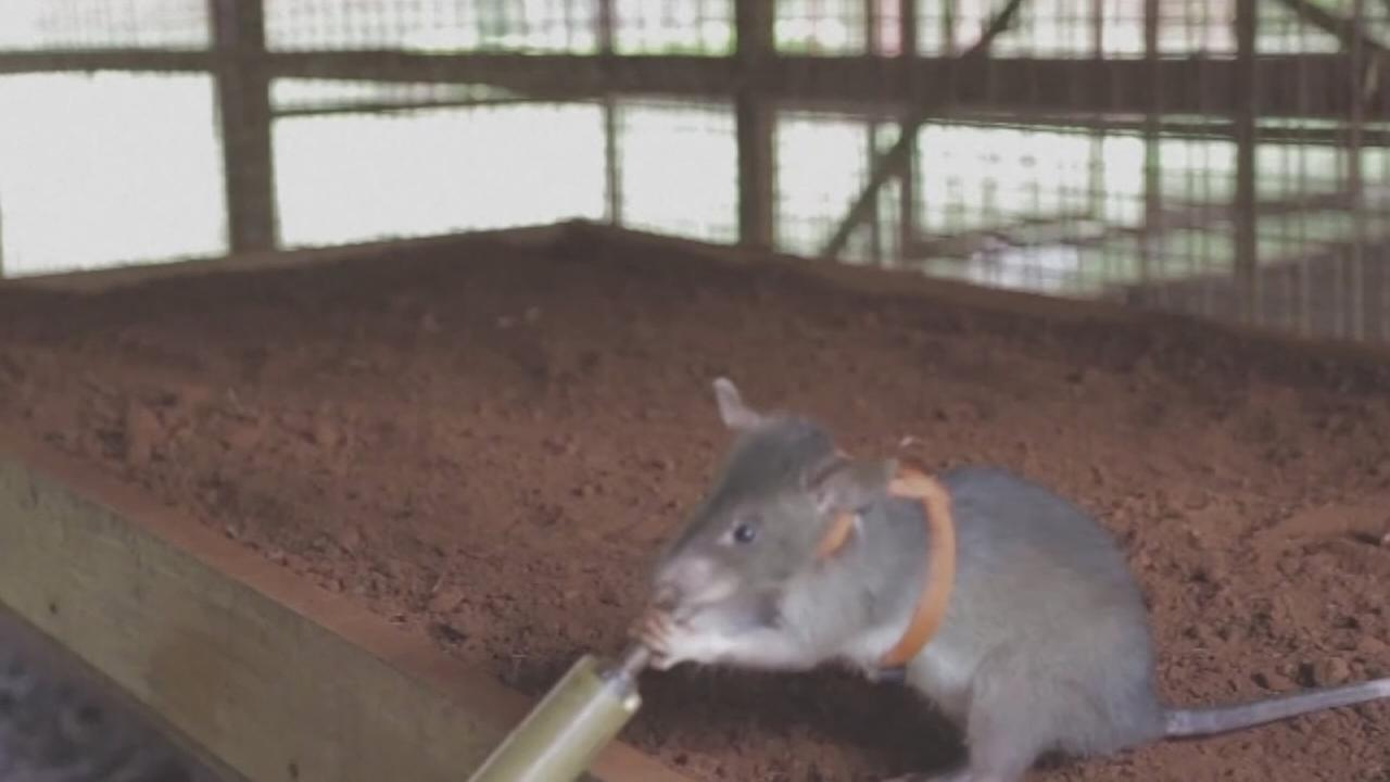 Giant rats being used to root out landmines