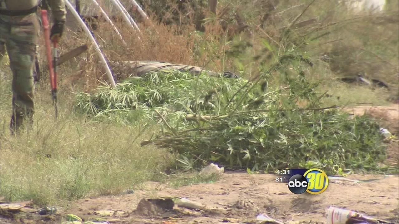 Surprising results of Fresno County pot fine appeals