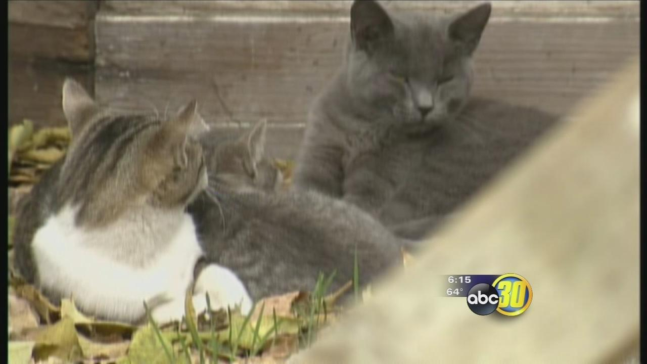 Atwater Looks For A Solution To An Abundance Of Feral Cats