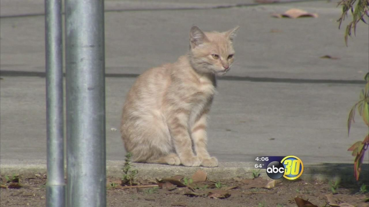 City of Visalia wrestling with feral cat problem