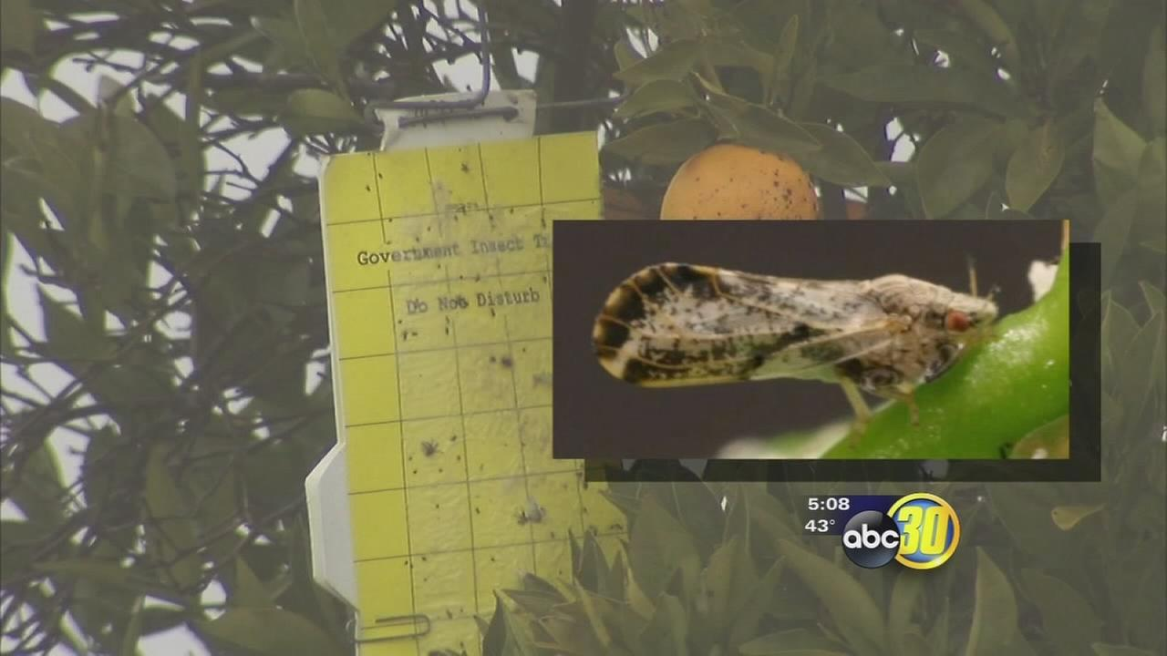 Asian citrus psyllids found near Tulare County, Fresno County border